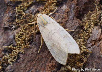 Banded Tussock Moth