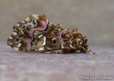 Pink-shaded Fern Moth