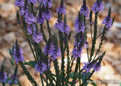 First blooming flowers: Blue Vervain
